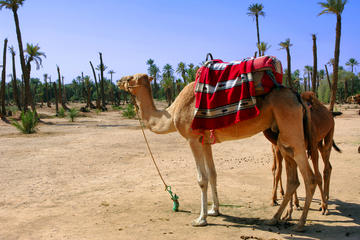 Excursion de 1 heure et demie à dos de chameau en petit groupe...