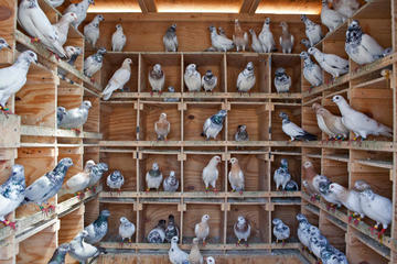 Tour of Agra and its Pigeon Keepers