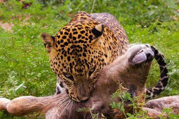 Guardare leopardo