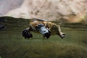Meet a Platypus at Healesville Sanctuary