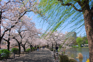Excursão a pé das Flores de Cerejeira de Tóquio em Asakusa