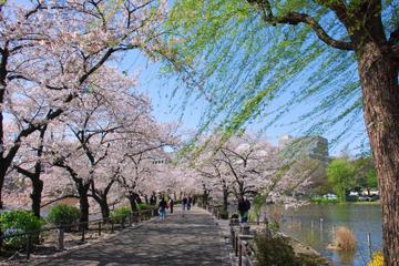 Kirschblüten-Spaziergang durch Asakusa, Tokio