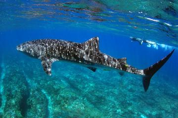 Whale Shark Discovery Tour