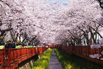 ソウル発の鎮海軍港祭桜祭り1日訪問