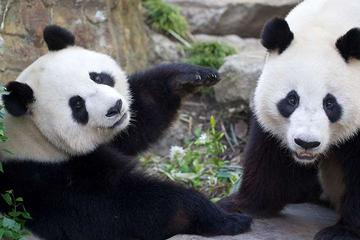 Adelaide Zoo Behind the Scenes Experience: Exclusive VIP Giant Panda...