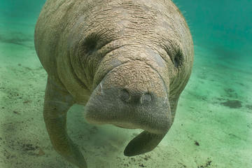 Day Trip Manatee Sightseeing Eco-Tourism Adventure near Naples, Florida