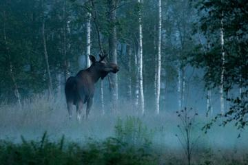 Moose Safari in Skinnskatteberg