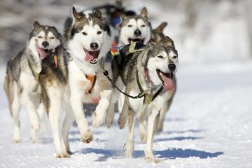 Snowy Trails Husky Safari (8km)