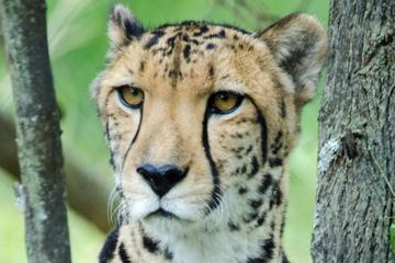 Cheetahが走っているAnne Van Dyk Cheetah Cent…