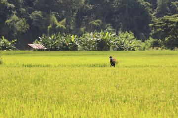 Vie d'un fermier local au départ de Chiang Mai: devenir riziculteur...