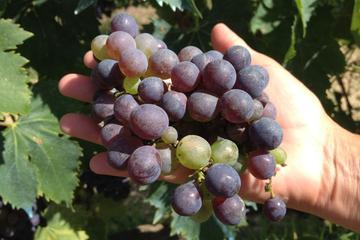 Excursion d'une demi-journée dans les vignobles de Chianti sur les...