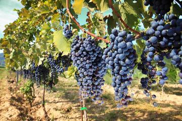Half-day Wine Tour in the Tuscan's Hills from Pisa