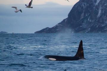 Excursão de observação de baleias na Lapônia saindo de Tromso