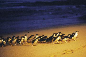 Zelfstandige meerdaagse reis naar Phillip Island vanuit Melbourne met ...