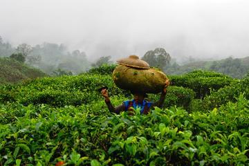 Harvesting tea and making tea drink