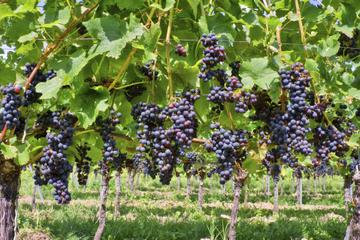 Excursão privada para degustação de vinhos Irpínia saindo de Nápoles...