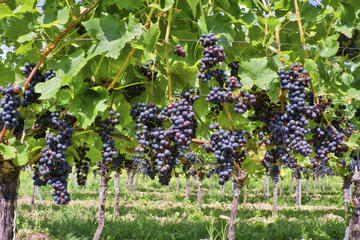 Recorrido vinícola privado por Irpinia desde Nápoles con sumiller