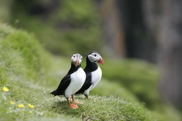 Reykjava­k Classic Puffin Watching