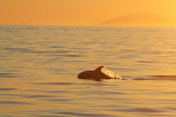 Reykjavik Whale Watching-krydstogt i midnatssol