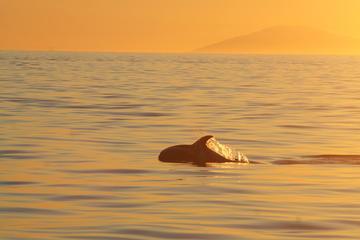 Walvissen spotten bij Reykjavik in de middernachtzon