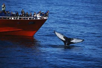 Walvissen spotten vanuit de oude haven van Reykjavik