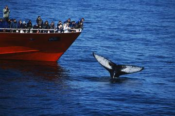 Whale Watching Tour from Reykjavik Old Harbour