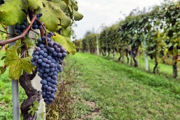 Circuit d'une demi-journée dans la région viticole