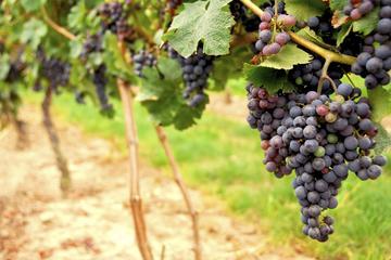 Escapada de un día con experiencia vinícola a Napa y Sonoma en...