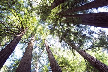 Muir Woods Tour of California Coastal Redwoods