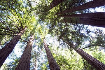 Recorrido por Muir Woods de secuoyas costeras de California
