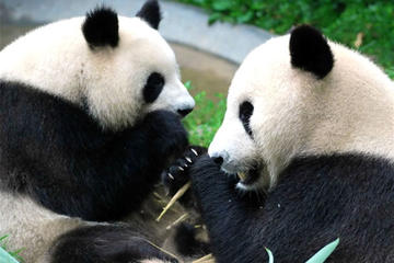 Full-Day Private Chengdu and Giant Panda Breeding Center Tour