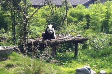 Private Day Tour: Dujiangyan Panda Base and Dujiangyan Irrigation Project from Chengdu