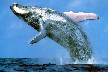 Whale Watching, Sea Turtle and Shark Feeding Day Tour to Praia do...