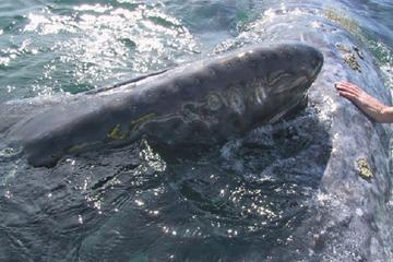 Journey of the Gray Whale 5-Day Expedition from La Paz