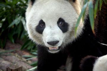 Excursão privada: Excursão de 2 dias em Chengdu com pandas e Buda...