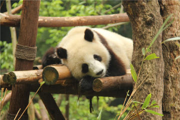 Private Half Day Tour to Dujiangyan Panda Breeding Center-No Shopping Stops