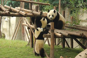 Small Group Chengdu Day Tour:Chengdu Research Base of Giant Panda Breeding-Jinli Street-Kuanzhai Xiangzi-No Shopping Stops