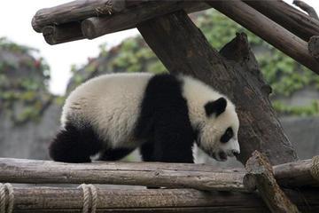 Small Group Max 7 travellers Chengdu Panda Tour with Traditional Lanes: Chengdu Research Base of Giant Panda Breeding-Jinli Street-Kuanzhai