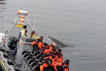 Croisière d'observation des baleines en petit groupe à bord d'un RIB...