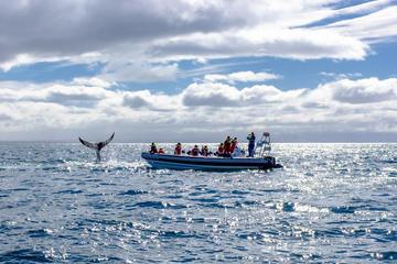 Crucero de avistamiento de ballenas en RIB de Reikiavik para grupos...