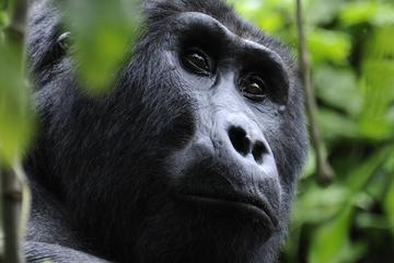 4-Day Fly-In Gorilla Tracking Safari...