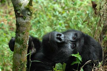 4 Days Flying Gorilla Safari From...
