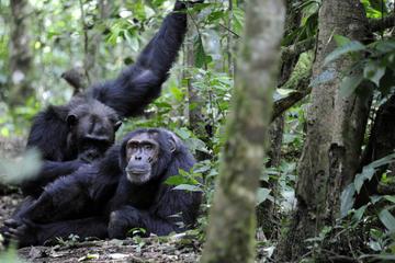 7 Days Classic Primate Uganda...