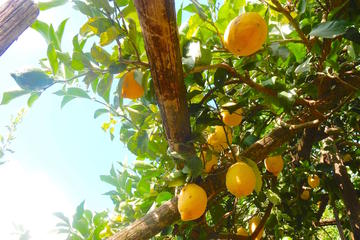 Lemon tour from Amalfi Coast
