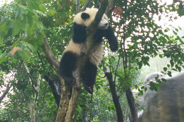 Chengdu Impression of Giant Panda and Sichuan Cuisine Cooking Experience