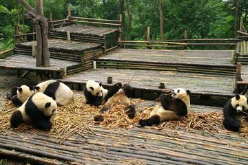 Half Day Morning Trip of Chengdu Giant Pandas