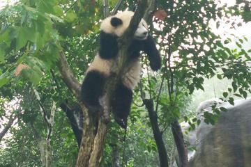 Private Customizable Panda Trip in Chengdu