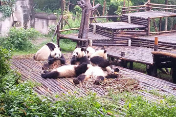 All Inclusive Private Day Trip to Chengdu Giant Panda Base and Leshan...