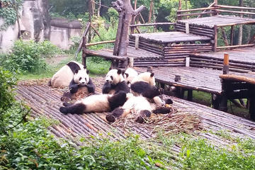 Private Chengdu Giant Panda Base and Leshan Giant Buddha Trip by...