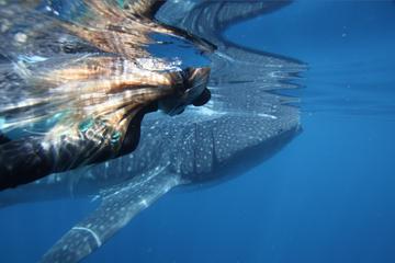 Ningaloo Whale Shark Swim on a...